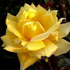 巨大輪!濃い黄色の花が人気の品種です。 何本でも同梱可。1万円以上送料無料!【剪定済】バラ...
