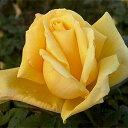 黄色の四季咲大輪バラ!花付きが良くフルーツのような香り 何本でも同梱可。1万円以上送料無料...