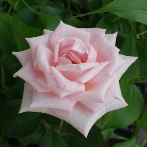 やさしいピンクの大輪を咲かせます 何本でも同梱可。1万円以上送料無料!【剪定済】バラ苗2年生...