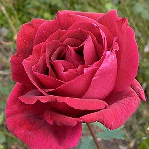 魅惑的な印象の「黒バラ」の代表的品種 何本でも同梱可。1万円以上送料無料!【剪定済】バラ苗2...