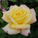 黄色にピンクの露輪咲き。横張りでおおきなブッシュになります 何本でも同梱可。1万円以上送料...