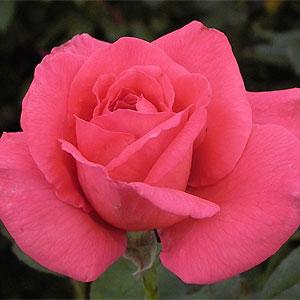 ホットピンクの花色が印象的 何本でも同梱可。1万円以上送料無料!【剪定済】バラ苗2年生大苗/...