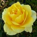 花付きがよく、レモンイエローの花が房咲きになります。 何本でも同梱可。1万円以上送料無料!...