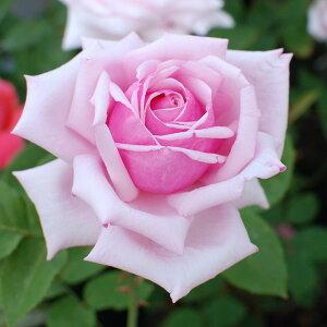 花びらが多く優雅な花を咲かせます 何本でも同梱可。1万円以上送料無料!めざせバラ御殿【1000...