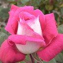ショッキングピンクの花色、葉の裏は白になる品種です 何本でも同梱可。1万円以上送料無料!【...