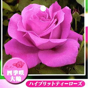 ピンクに近い薄紫系のバラ 何本でも同梱可。1万円以上送料無料!【剪定済】バラ苗2年生大苗/ラ...