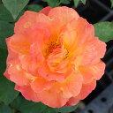 開花につれ、色付く花色。 何本でも同梱可。1万円以上送料無料!●11月中旬よりお届け【バラ2年...