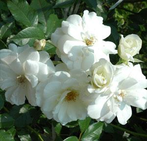 バラ苗/株を覆うように花をつけます 何本でも同梱可。1万円以上送料無料!早割り価格1000円ポッ...