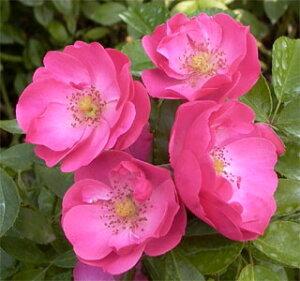 濃いピンクのかわいい中輪花をびっしりと咲かせます 何本でも同梱可。1万円以上送料無料!【予...