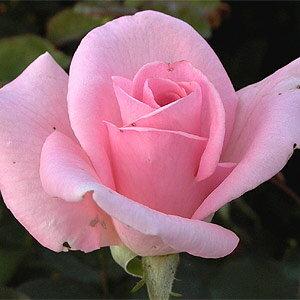 ベージュがかったピンク。最も育て易い品種のひとつ。 何本でも同梱可。1万円以上送料無料!【...