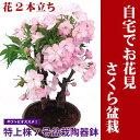 自宅でお花見ができるサクラの盆栽仕立てです。 お庭のない方も毎年楽しめます。桜盆栽八重の桜...