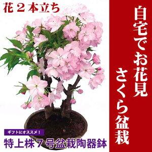 自宅でお花見ができるサクラの盆栽仕立てです。 お庭のない方も毎年楽しめます。桜盆栽【特上株...