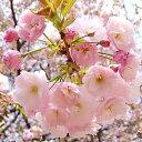 Sakura-sakai-003