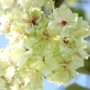 桜を育てよう!入学・卒業・卒園・誕生などの記念樹にも人気です♪(さくら、庭木、植木、シン...