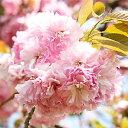 Sakura-sakai-022