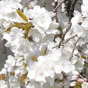 桜を育てよう!入学・卒業・卒園・誕生などの記念樹にも人気です♪(さくら、庭木、植木、サク...