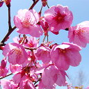 Sakura-sakai-057