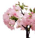 Sakura-sakai-059