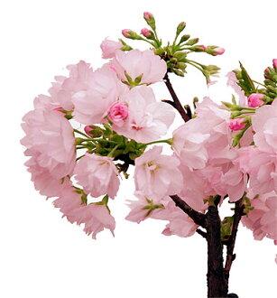 ★冬天被櫻花(sambagawafuyuzakura)訴訟預訂品★1月中旬以後送的櫻花樹苗●三波川開花 ※確認訂貨以後在倉庫,在到送需要2個星期左右的時候有。