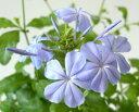涼しげな花色!つる性でお庭に植えると大きくなります。宿根草で毎年楽しめます。プルンバーゴ/...