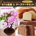 自宅でお花見ができる桜の盆栽と甘さ控えめのお菓子のセットです!【ホワイトデーギフト】さく...