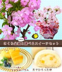 【ホワイトデーギフト】和柄ラッピングの桜盆栽と人気店の選べるスイーツセット 【楽ギフ_包装】