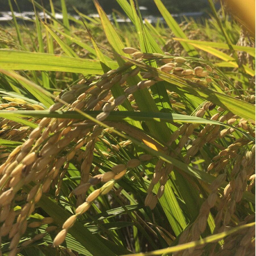 自然栽培 イセヒカリ 伊勢光 玄米(10kg) (無農薬 無化学肥料)