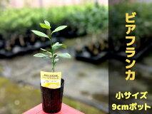 レモンビアフランカ【【ベランダで育成】鉢植え接ぎ木苗9cmポット[小]果樹