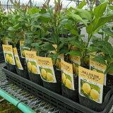 レモン苗木リスボン【ベランダで育成】鉢植え接ぎ木苗ポット植え[小]柑橘果樹れもん