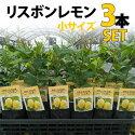【3本セット】レモン苗木リスボン【ベランダで育成】鉢植え接ぎ木苗ポット植え[小]柑橘果樹れもん