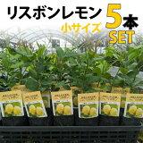 【5本セット】レモン苗木リスボン【ベランダで育成】鉢植え接ぎ木苗ポット植え[小]柑橘果樹れもん