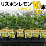 【10本セット】レモン苗木リスボン【ベランダで育成】鉢植え接ぎ木苗ポット植え[小]柑橘果樹れもん
