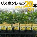 【20本セット】レモン苗木リスボン【ベランダで育成】鉢植え接ぎ木苗ポット植え[小]柑橘果樹れもん