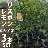 【3本セット】リスボンレモン苗木(リスボン)【ベランダで育成】鉢植え接ぎ木苗ポット植え[中]柑橘果樹れもん