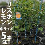 【5本セット】リスボンレモン苗木(リスボン)【ベランダで育成】鉢植え接ぎ木苗ポット植え[中]柑橘果樹れもん