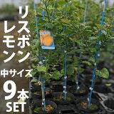 【9本セット】リスボンレモン苗木(リスボン)【ベランダで育成】鉢植え接ぎ木苗ポット植え[中]柑橘果樹れもん