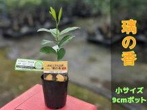 璃の香りのか苗木【ベランダで育成】鉢植え接ぎ木苗ポット植え[小]柑橘果樹レモン