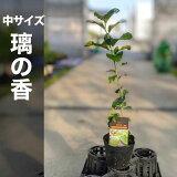 璃の香りのか苗木【ベランダで育成】鉢植え接ぎ木苗ポット植え[中]柑橘果樹レモン