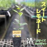 スイートレモネード苗木【【ベランダで育成】鉢植え接ぎ木苗9cmポット[小]果樹