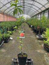 桃の苗木【ベランダで育成】鉢植え接ぎ木苗ポット植え[中]