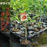 ブラッドオレンジ苗木【ベランダで育成】鉢植え接ぎ木苗ポット植え[中]柑橘果樹レモン