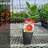 ブラッドオレンジ苗木【ベランダで育成】鉢植え接ぎ木苗ポット植え[小]柑橘果樹レモン