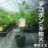 デコポン(九州でも熊本名産で有名な柑橘品種です)
