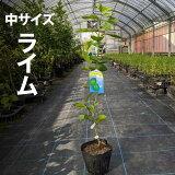 ライム苗木【ベランダで育成】鉢植え接ぎ木苗ポット植え[中]柑橘果樹レモン