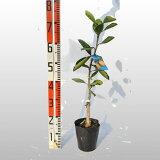 みかんスイートスプリング【ベランダで育成】鉢植え接ぎ木苗ポット植え[中]果樹