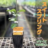 みかんスイートスプリング【【ベランダで育成】鉢植え接ぎ木苗9cmポット[小]果樹
