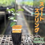 【3本セット】みかんスイートスプリング【【ベランダで育成】鉢植え接ぎ木苗9cmポット[小]果樹