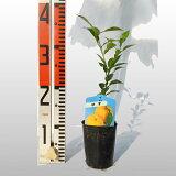 【ベランダで育成】柚子(ゆず)苗木柑橘鉢植え接ぎ木苗9cmポット[小]果樹