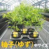 【ベランダで育成】柚子(ゆず)苗木柑橘鉢植え接ぎ木苗ポット植え[中]果樹