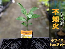 不知火苗苗木[小]【ベランダで簡単】鉢植え家庭菜園果物くだものフルーツ柑橘しらぬい